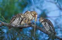 Ferruginous Pygmy-Owl, Glaucidium brasilianum, adult feeding lizard to young, Willacy County, Rio Grande Valley, Texas, USA