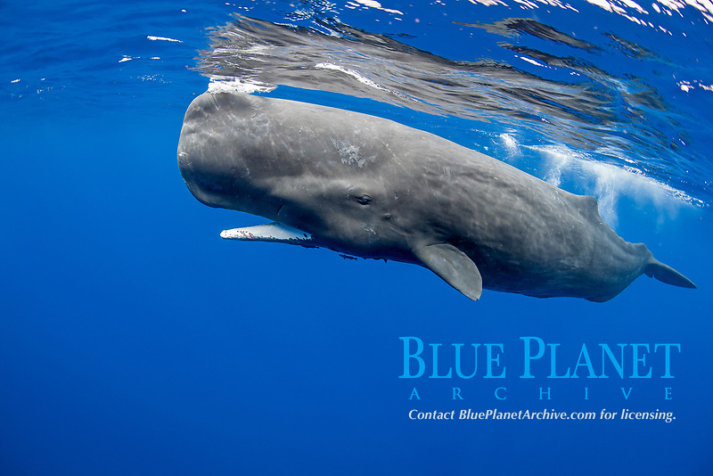 sperm whale, or cachalot, Physeter macrocephalus, young, with pieces of squid tentacles on its lower jaw, Dominica, Caribbean Sea, Atlantic Ocean, permit # RP 13/365 W-03