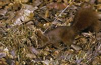 Europäisches Eichhörnchen, Eich-Hörnchen, versteckt Nüsse im Waldboden, Sciurus vulgaris, European red squirrel, Eurasian red squirrel