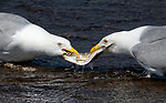 Herring gulls in tug of war over fish by Brad Dinerman