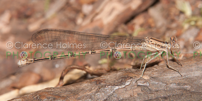 Variable Dancer (Argia fumipennis violacea) Damselfly - Female (Violet Dancer subspecies), Promised Land State Park, Greentown, Pike County, Pennsylvania