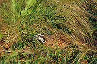 Male Northern Bobwhite Quail (Colinus virginianus) hiding in grass.