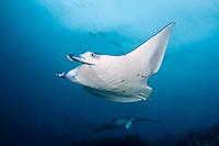 reef manta ray, Mobula alfredi, with shark bite scar, Manta Point, Lankan, North Male Atoll, Maldives, Indian Ocean