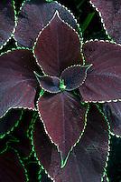 Coleus Chocolate Mint Solenostemon, purple foliage with green edges