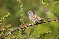 White-throated Sparrow (Zonotrichia albicollis), white stripe morph foraging at the Connetquot River State Park Preserve, Oakdale, New York.
