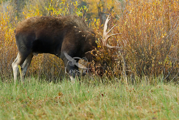 Bull Moose (Alces alces) tearing up willows with antlers during fall rut, Western U.S.