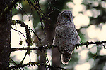 A great gray owl perches on a branch in Yellowstone National Park.