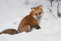 Furry Red tail fox, vulpes fulva, sitting in snow in forest, Midwest USA
