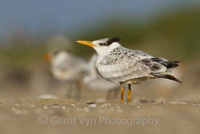 A lightly oiled Royal Tern (Sterna maxima) fledgling on the beach waiting to be fed. The bird was oiled as a result of the BP Deepwater Horizon oil leak in the Gulf of Mexico. Raccoon Island, Terrebonne Parish, Louisiana. July 2010.