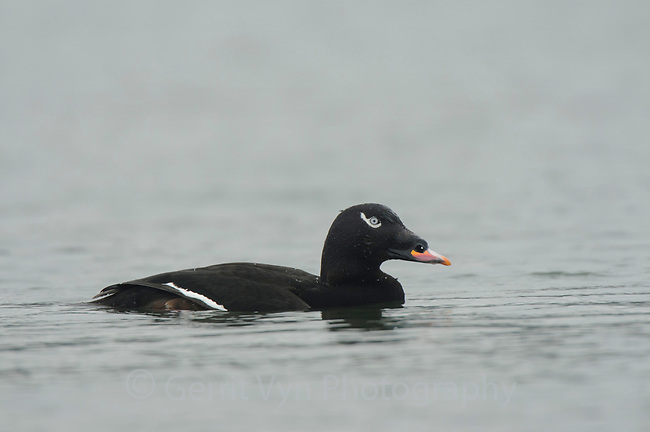 Adult male White-winged Scoter (Melanitta fusca). Whatcom County, Washington. March.