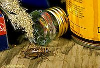 OR10-024z  Cricket - house cricket - Acheta domestica