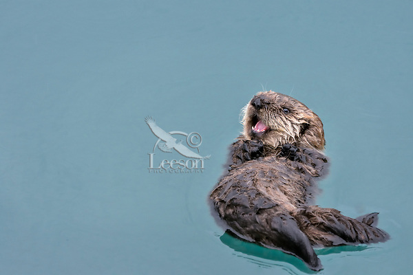 Very Young Sea Otter (Enhydra lutris) pup resting in sheltered bay on Prince William Sound, Alaska.  Spring.  At this young age pups call to their mom almost contantly when they are awake and the mom is diving for food.  About all this pup can do is float (hasn't learned to swim yet} and cry for its mom.