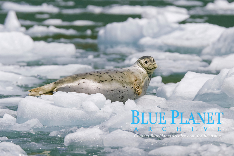 Adult Harbor Seal, Phoca vitulina, hauled out on iceberg/bergy bits calved off from Sawyer Glacier, Tracy Arm, Southeast Alaska, USA. Pacific Ocean