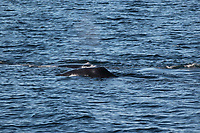 Bowhead whale,  Balaena mysticetus, Pair swimming together. Critically endangered Barents sea population. Barents sea / Arctic Ocean, Franz Josefs Land, Russia
