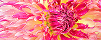Dahlias variety Myrtles Folly. Swan Island Dahlia Farm. Oregon