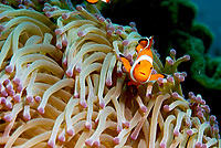 Flase clown aemomefish, Amphiprion ocellaris. Size to 9cm. Raja Ampat, West Papua, Indonesia, Pacific Ocean