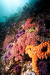 Santa Cruz Island, Channel Islands National Park and National Marine Sanctuary, California; several Ochre Sea Stars (Pisaster ochraceus) and Purple Sea Urchins cling to the rocky reef while sun rays shine through the blue water above , Copyright © Matthew Meier, matthewmeierphoto.com All Rights Reserved