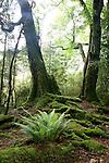 Crown ferns in beech forest, Kepler Track, Fiordland, New Zealand