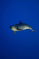 false killer whale, Pseudorca crassidens, off Kohala Coast, Big Island, Hawaii, USA, Pacific Ocean