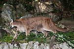 Mountain lion walking left full body view.