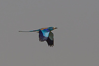 Abyssinian Roller in Flight