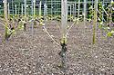 Double-guyot pruned grape vines ('Zweigeltrebe'), early April.