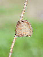 A Chinese Mantis (Tenodera sinensis sinensis) ootheca (egg mass) attached to a plant stem.