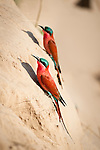 Southern Carmine Bee-eaters (Merops nubicoides). Banks of the Luangwa River. South Luangwa National Park, Zambia.