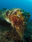 Kenting, Taiwan -- A cuttlefish guarding the eggs it laid in a table coral.