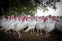 Free range turkeys; September, Lincolnshire