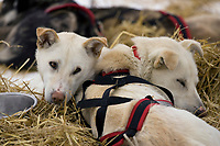 Paul Gebhardts Dogs Rest in Straw @ Kaltag Chkpt 2005 Iditarod *Dolly & Varden*