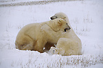 Two polar bears play fight.