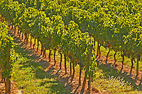 The vineyards: vines in a row. - Chateau Carignan, Premieres Cotes de Bordeaux