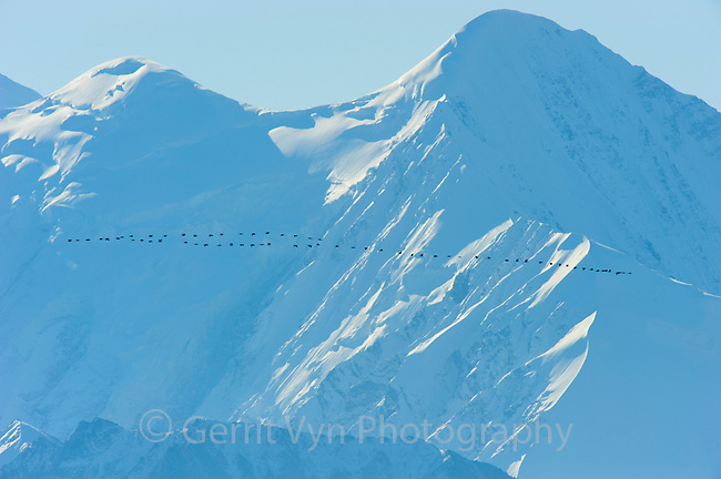 """""""Lesser"""" Sandhill Cranes (Grus canadensis) migrating along the Alaska Range near Mt. McKinley. These birds are from the mid-continent population that nest across  Northcentral Canada through Northern and Western Alaska and across the Bering Sea to Russian Siberia. Many follow a migration route that takes them through Denali National Park. Denali National Park, Alaska. September."""