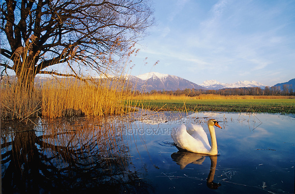 Mute Swan, Cygnus olor,adult with Alps in background, Kaltbrunn, Switzerland, April 1995