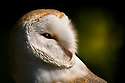 Barn Owl (Tyto alba) portrait in evening light. Captive, UK.