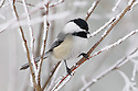 00175-011.13 Black-capped Chickadee is perched in rime frost covered shrub during winter.  Bird, birding, winter, cold, hoar frost.