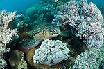 Apo Island, Dauin, Negros Oriental, Philippines; a green sea turtle resting amongst soft corals on the reef