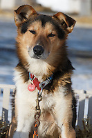 One of the Iditarod finishers in the dog lot in Nome on Saturday March 21, 2015 during Iditarod 2015.  <br /> <br /> (C) Jeff Schultz/SchultzPhoto.com - ALL RIGHTS RESERVED<br />  DUPLICATION  PROHIBITED  WITHOUT  PERMISSION