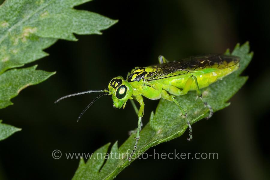 Grüne Blattwespe, Rhogogaster cf. viridis, Green Sawfly