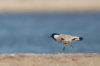 River Lapwing on a sand bank in the Chambal River at Rajasthan, India