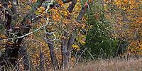 California Coastal Oak Woodland habitat with Quercus kelloggii, California Black Oaks and Bay tree in autumn on Pinheiro Fire Road, Rush Creek Open Space, Marin County