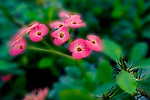 Ouch!  Crown of Thornes, aptly named Euphorbia Splendora, a succulent/