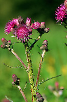 Sumpf-Kratzdistel, Sumpfkratzdistel, Kratzdistel, Distel, Cirsium palustre, marsh thistle, European swamp thistle