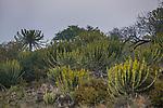 Candelabra Tree (Euphorbia ingens) group, Kruger National Park, South Africa
