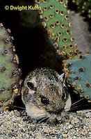 MU31-006z  Silky Pocket Mouse - Perognathus flavus