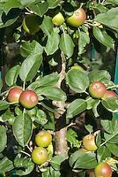 Apples Flamenco aka Obelisk growing on tree
