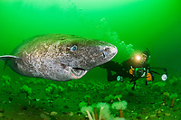 Greenland shark, Somniosus microcephalus, with parasitic copepod, Ommatokoita elongata, attached to eye of shark, and photographer, Saint Lawrence River, Quebec, Canada, Atlantic Ocean