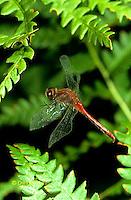1O05-026c  Skimmer Dragonfly flying - White-faced Meadowhawk Skimmer male - Sympetrum obtrusum