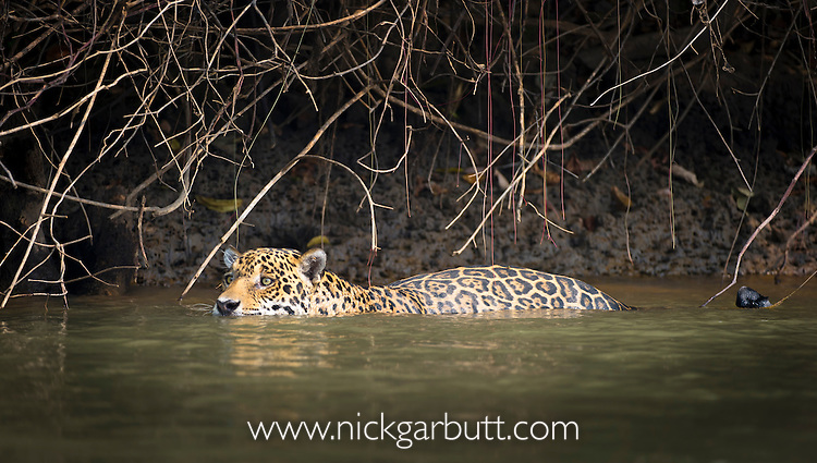 Wild male Jaguar (Panthera onca palustris) swimming along the margins of the Piquiri River, a tributary of Cuiaba River, Northern Pantanal, Brazil.